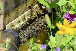 Honigbienen auf der Streuobstwiese