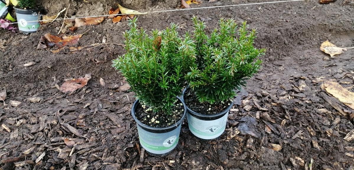 Taxus neu gepflanzt